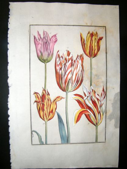 Daniel Rabel 1771 Folio Hand Col Botanical. Yellow, White & Red Tulips 6 | Albion Prints